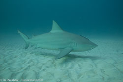 BD-101205-Playa-del-Carmen-2642-Carcharhinus-leucas-(Müller---Henle.-1839)-[Bull-shark.-Tjurhaj].jpg